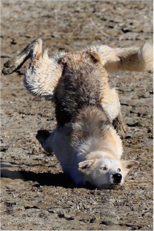 lobo cayéndose