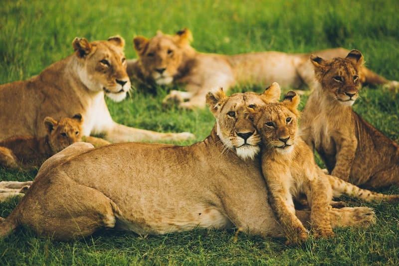 Los fieros leones son en realidad gatos grandes